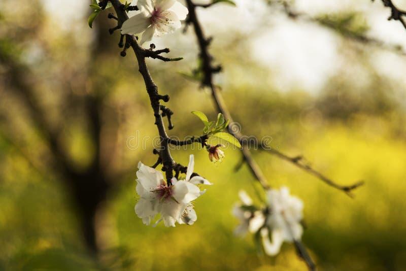 Piękni biali kwiaty migdał obrazy royalty free