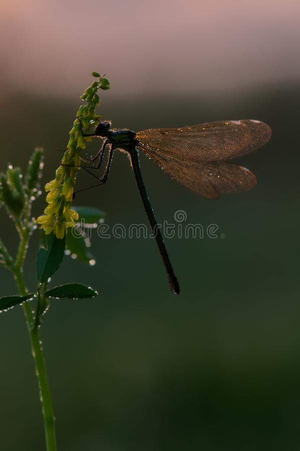 Piękni dragonfly Calopteryx splendens żeńscy na słońcu przed wschód słońca obraz royalty free