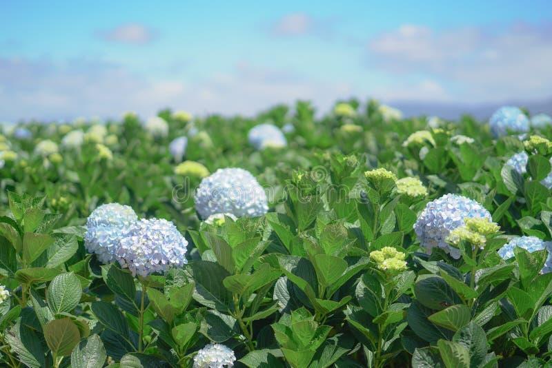 Piękni hortensja kwiaty zdjęcie stock