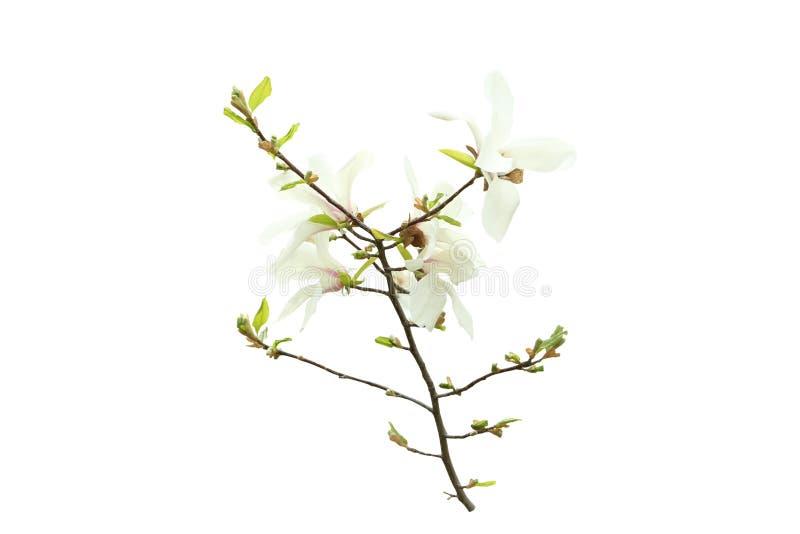Piękni kwitnący magnolia kwiaty obrazy stock