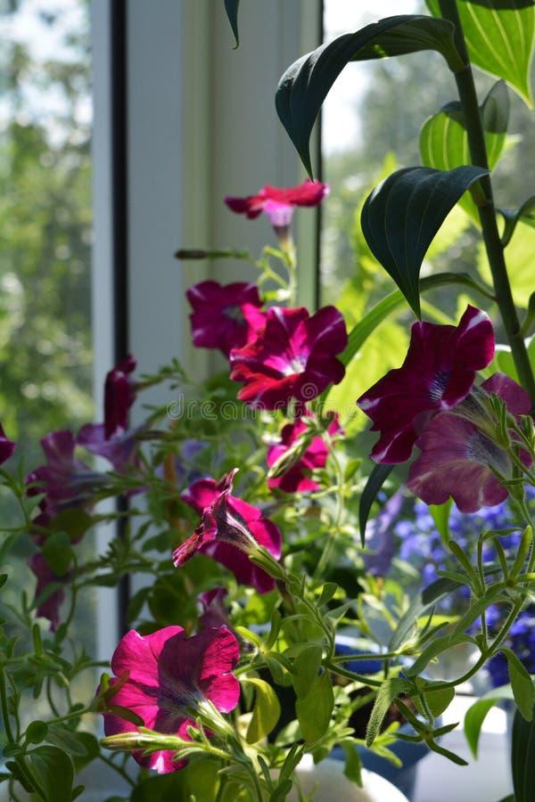 Piękni petunia kwiaty Kolorowe kwitnienie rośliny w ogródzie na balkonie obrazy royalty free