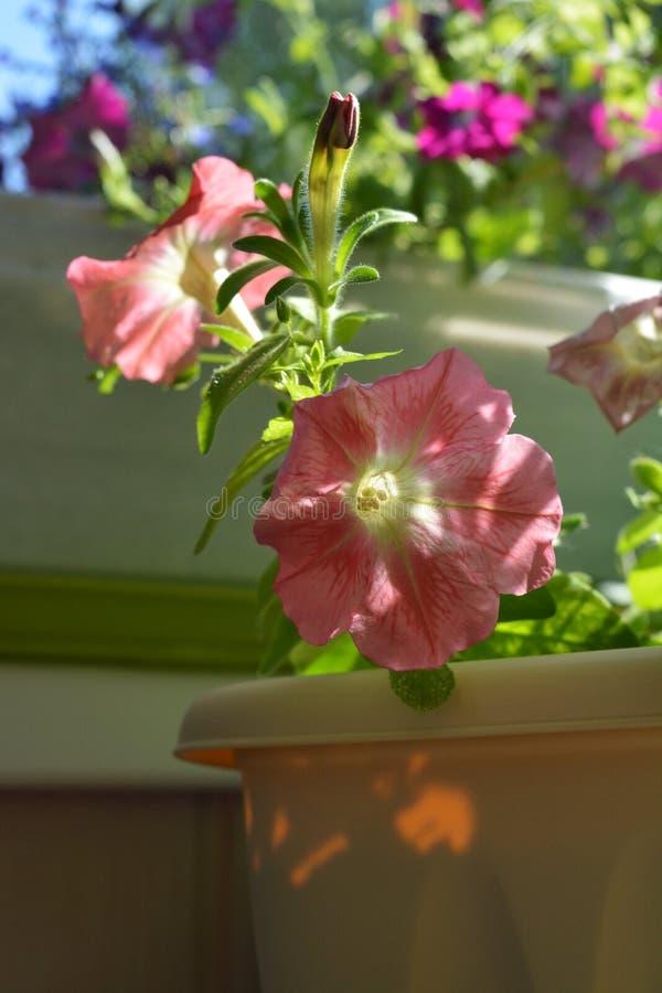 Piękni petunia kwiaty r w zbiorniku Kolorowy kwitnienie ogród na balkonie zdjęcia royalty free