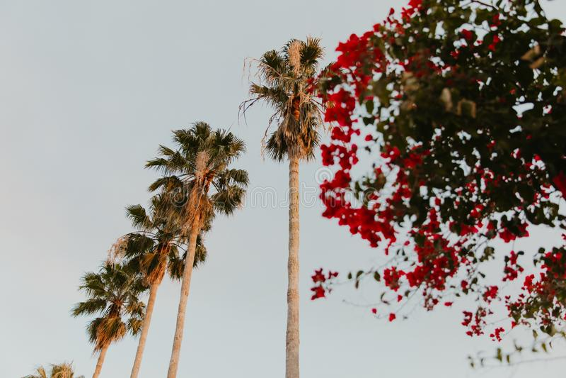 Piękni Wysocy Tropikalni drzewka palmowe Stoi z rzędu Kreskową wysokość w Jasnym niebie z Dużymi zieleń liśćmi i Tęsk Drzewni bag fotografia stock