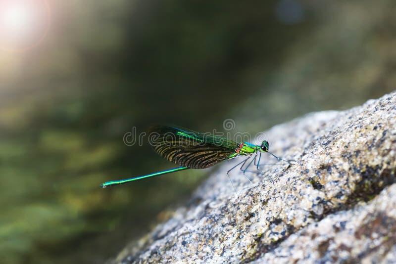 Piękni zieleni damselflies na skale w siklawie, Tajlandia Błonie Zielony Broadwing fotografia royalty free