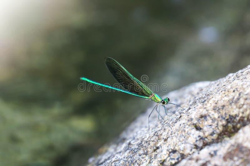 Piękni zieleni damselflies na skale w siklawie, Tajlandia Błonie Zielony Broadwing zdjęcia royalty free