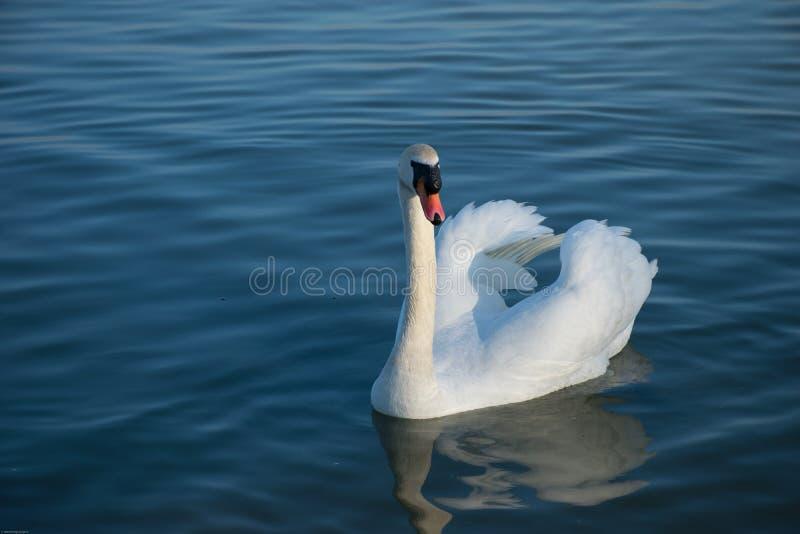 Piękny biały łabędzi dopłynięcie w błękitne wody spokojny jezioro obrazy stock