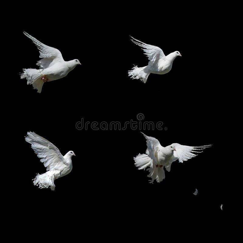 Piękny biel nurkujący odizolowywającym zdjęcie stock