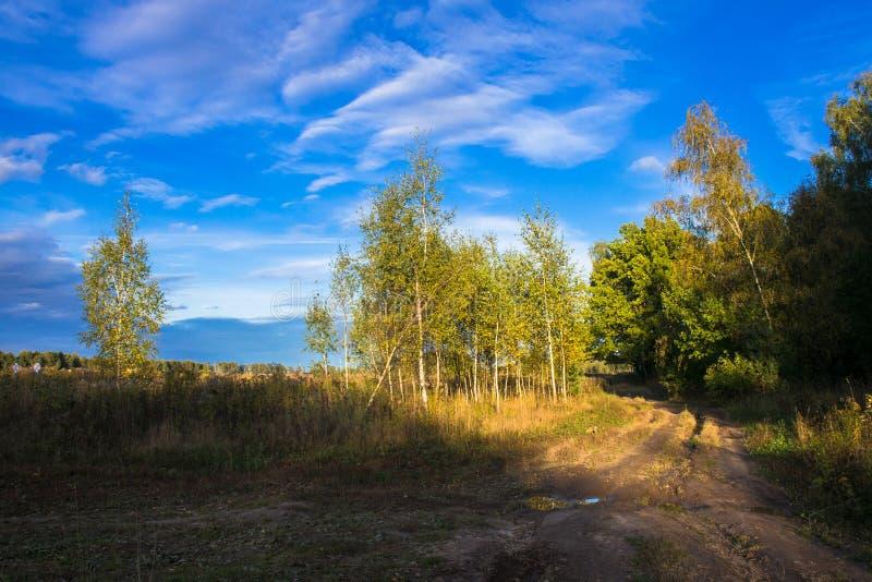 Piękny brzoza gaj w promieniach położenie jesieni słońce Młode brzozy z żółtymi liśćmi na tle kryształ - jasny bl fotografia stock