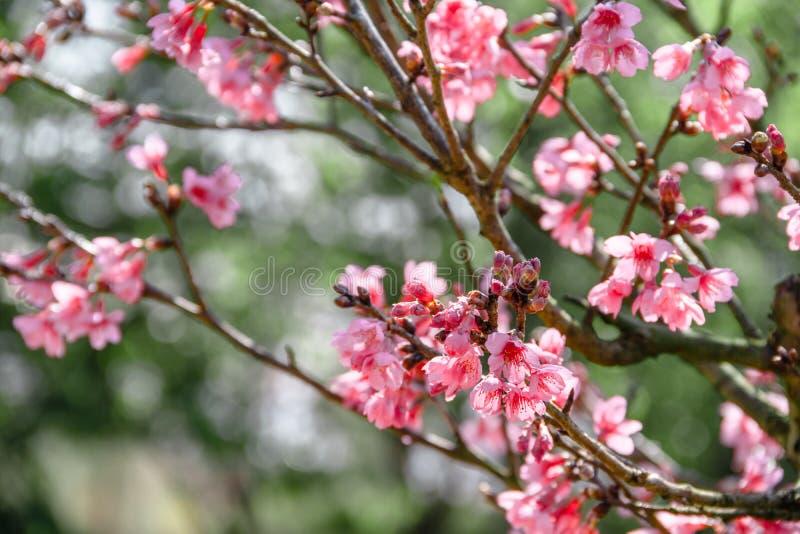 Piękny czereśniowy okwitnięcie, Dzicy Himalajscy cerasoides w nauki imienia kwitnieniu na zimie, wiśni lub Prunus przyprawiamy pr obraz stock
