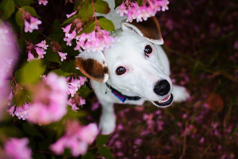 Piękny dźwigarki Russel teriera kobiety psa obsiadanie między liśćmi zdjęcia stock