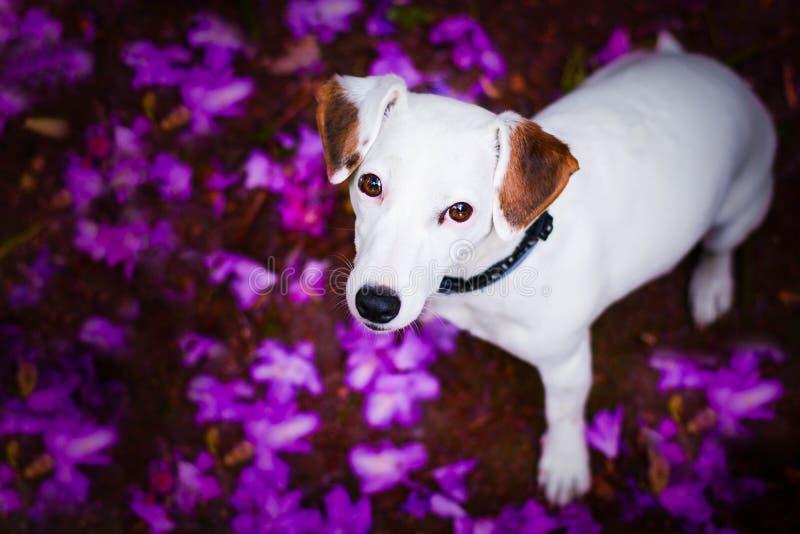 Piękny dźwigarki Russel teriera kobiety psa obsiadanie między liśćmi obrazy royalty free