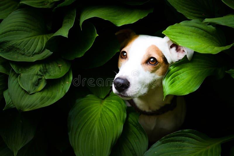 Piękny dźwigarki Russel teriera psa obsiadanie między liśćmi zdjęcia royalty free