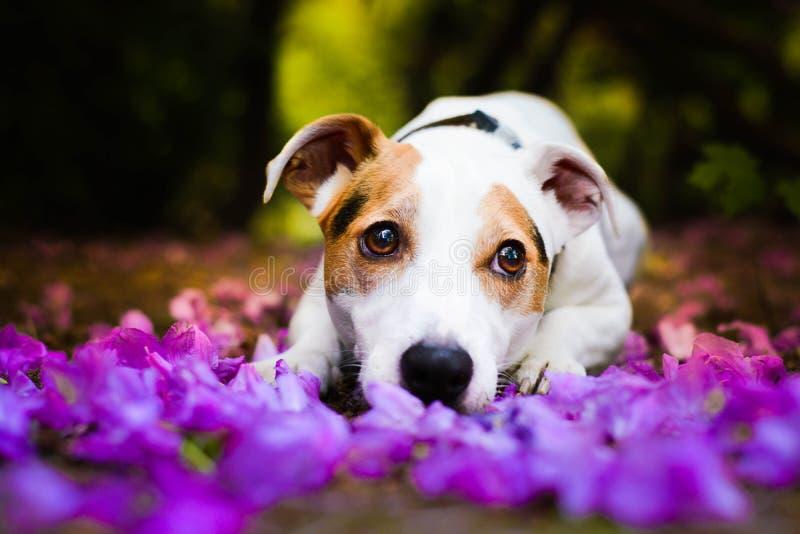 Piękny dźwigarki Russel teriera samiec psa lying on the beach między różowymi liśćmi zdjęcia royalty free