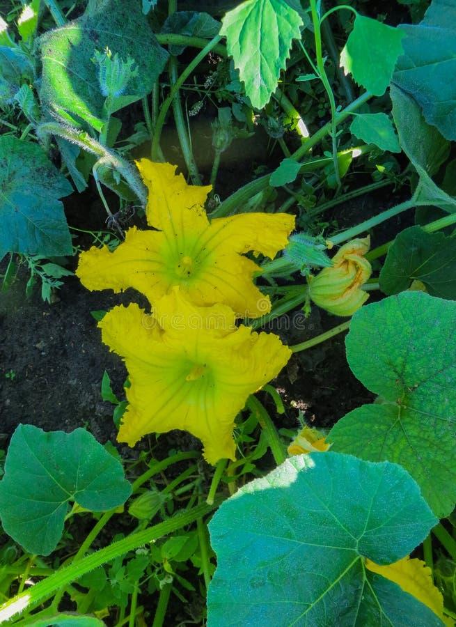 Piękny Dyniowy kwiat w jarzynowym rośliny i zieleń liścia tle obraz stock