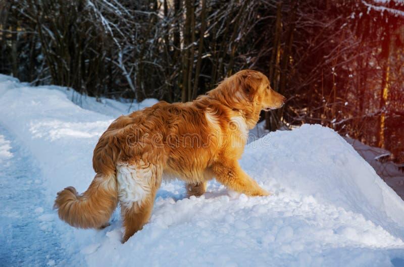 Piękny działający golden retriever pies w pięknym zima krajobrazie zdjęcie stock