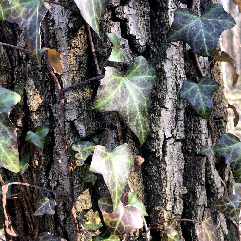 Piękny, dziki bluszcz na drzewnej barkentyny tle, zdjęcia stock