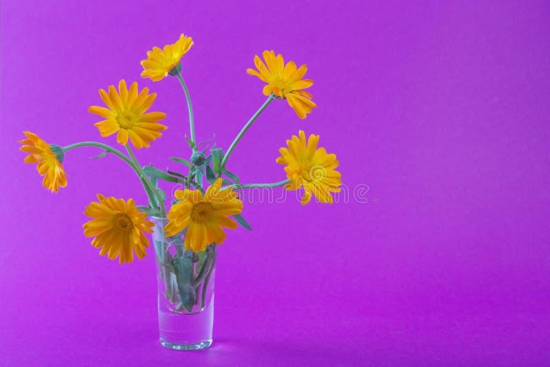 Piękny i delikatny calendula kwitnie na barwionym tle zdjęcie royalty free