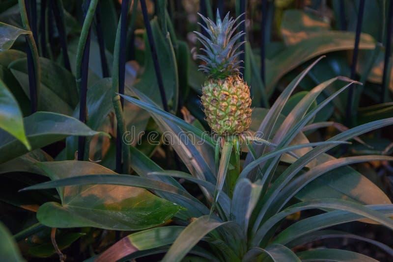 Piękny karłowaty ananas w naturalnym środowisku w Tropikalnym ogródzie botanicznym obraz stock