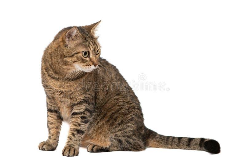 Piękny kot odizolowywający na białym tle zdjęcia stock