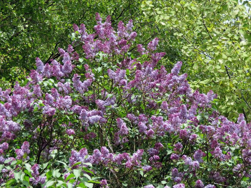 Piękny kwitnący krzak w wiośnie, Lithuania obraz stock