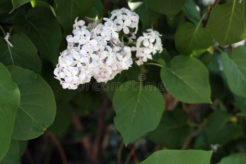 Piękny Kwitnący Lily drzewo Kwitnie w zbliżeniu zdjęcia stock