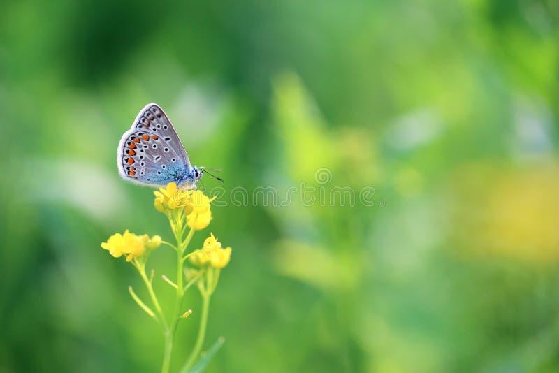 Piękny motyl szuka nektar w kwiatach zdjęcia royalty free