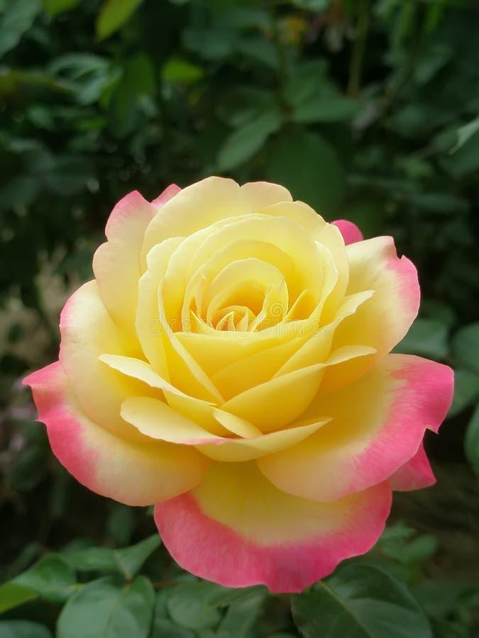 Piękny ogrodowy kolor żółty menchii koloru róży zieleni tło zamknięty w górę pokoju wzrastał zdjęcie royalty free