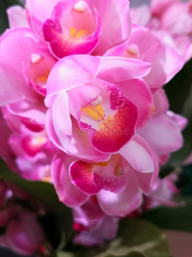 Piękny pełny grono zmrok i światło - różowe orchidee z żółtymi centrami, fotografia stock