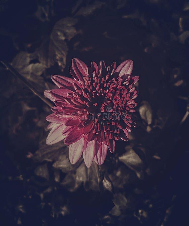 Piękny purpurowy chryzantema kwiat z ciemnymi brzmieniami zdjęcie stock