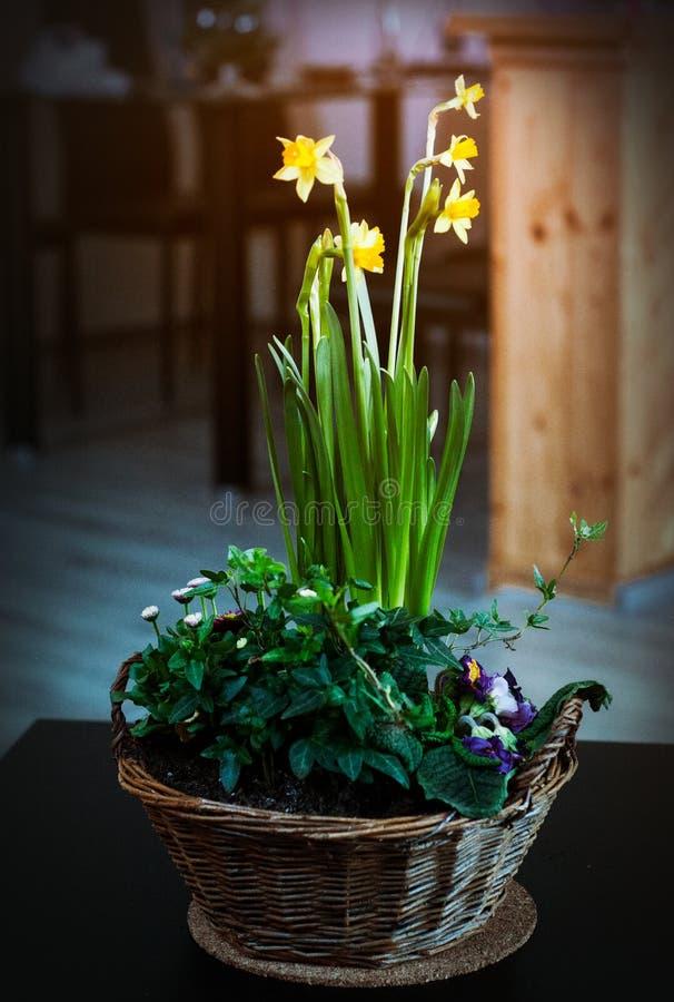 Piękny skład wiosna kwitnie z Daffodils i innym wiosna kwiatów dorośnięciem w koszu obrazy royalty free
