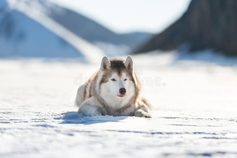 Piękny Syberyjskiego husky psa lying on the beach na lodowym floe na zamarzniętym Okhotsk śniegu i morzu nakrywał peak&-x27; s tł zdjęcie royalty free