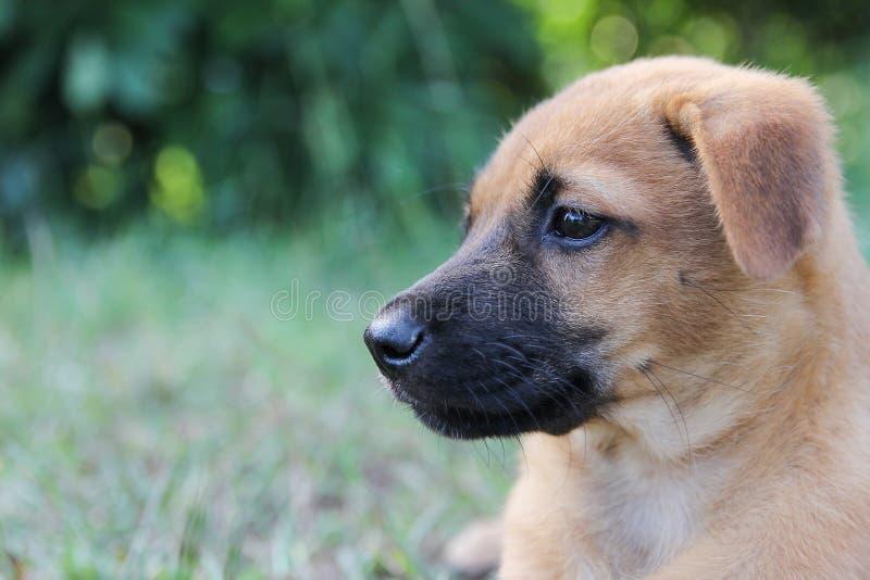 Piękny szczeniaka brązu pies z smutnym, oczy jest prześladowanym portret na trawie Odbitkowa przestrzeń dla teksta fotografia royalty free