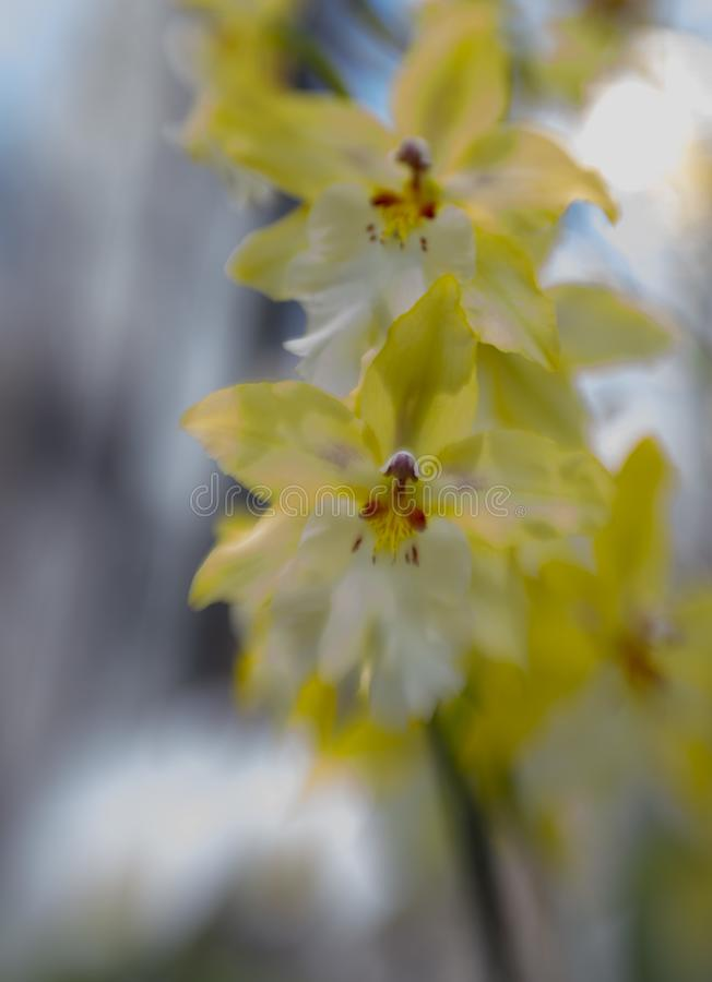 Piękny zakończenie w górę żółtej i białej orchidei fotografia royalty free