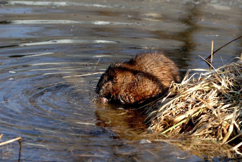 Piżmoszczur ogryza na trawach blisko jeziornej krawędzi fotografia royalty free