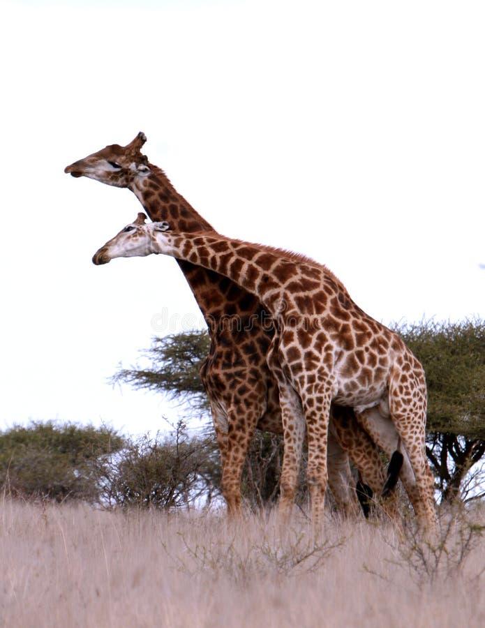 Pièce africaine de giraffes photographie stock