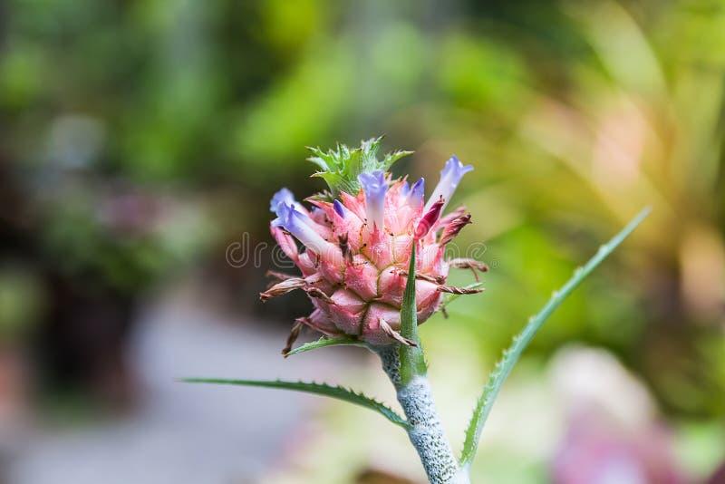 Piña en jardín foto de archivo libre de regalías