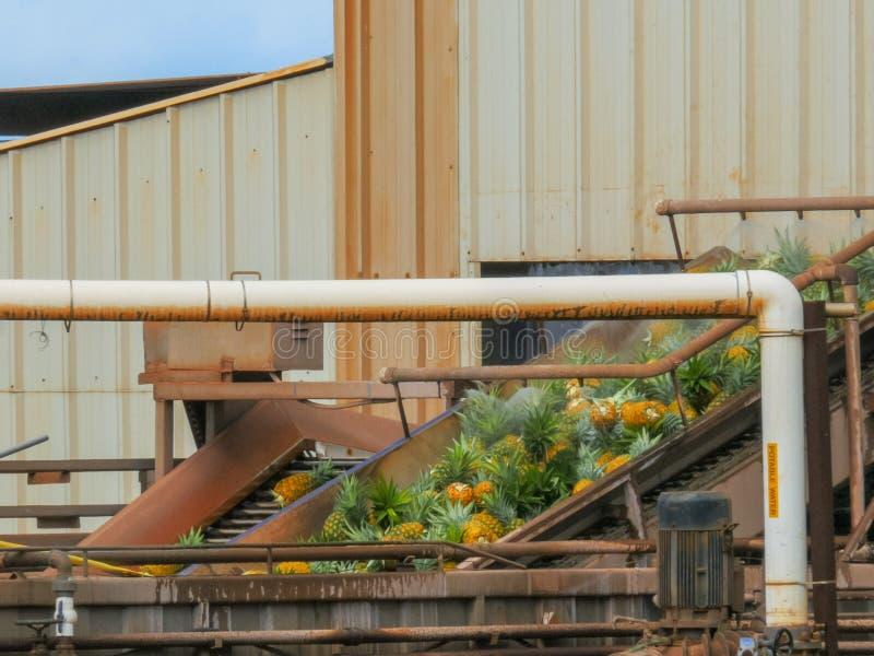 Piñas en la banda transportadora en la fábrica de la plantación del paro fotografía de archivo libre de regalías
