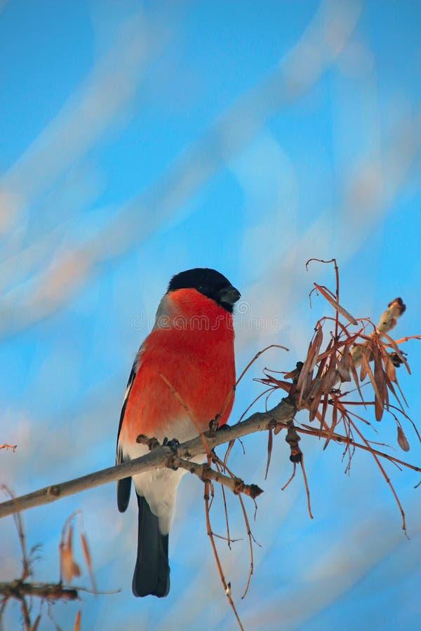 Piñonero en una rama en parque del invierno fotografía de archivo
