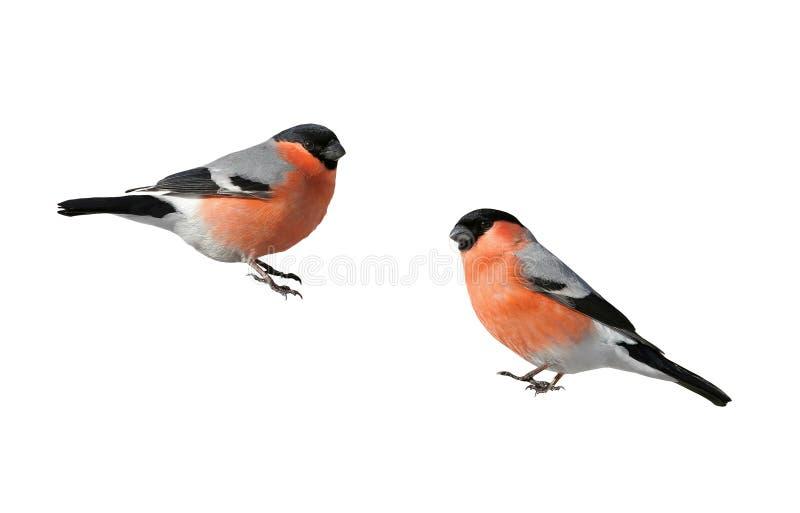 Piñonero rojo regordete hermoso del pájaro en una rama aislada fotos de archivo