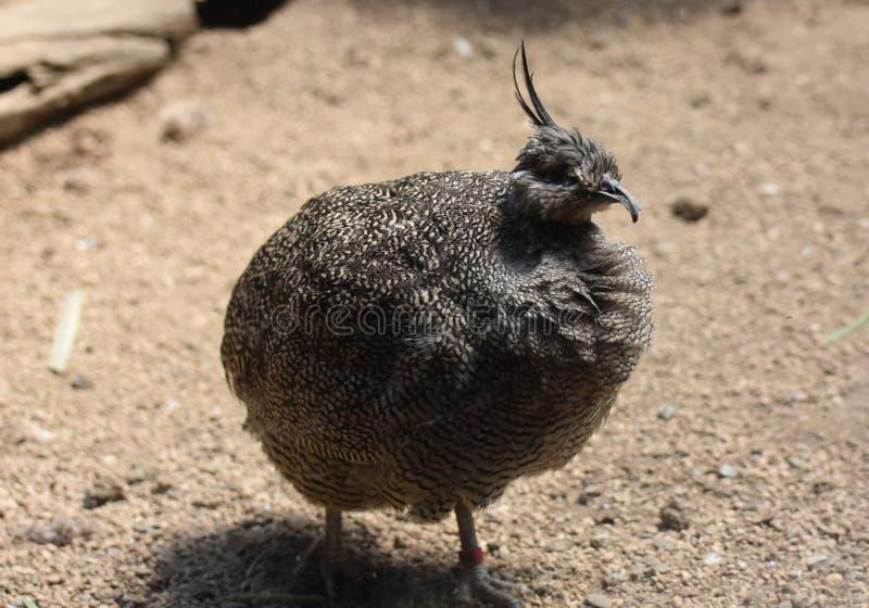 Piórka Chuchający W górę Eleganckiego Czubatego Tinamou ptaka dalej zdjęcia stock