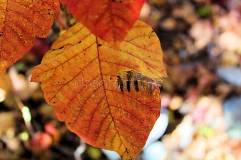 Piórko wtykający na jesień liściu obrazy royalty free