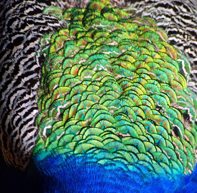 piórkowa pawia tekstura obrazy stock