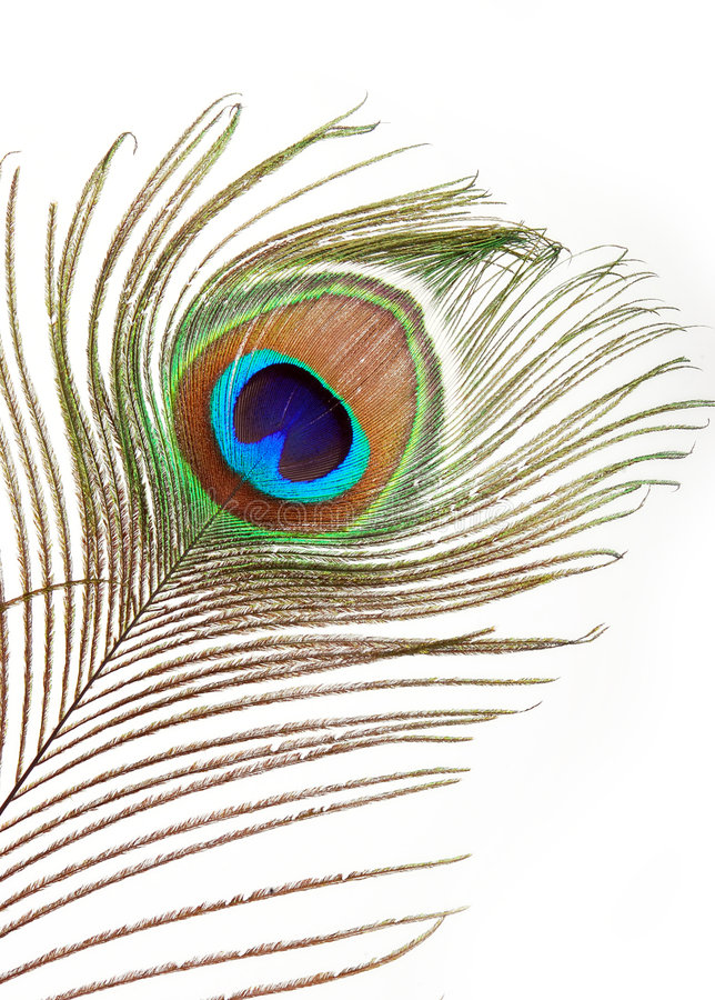 piórkowy paw zdjęcie stock