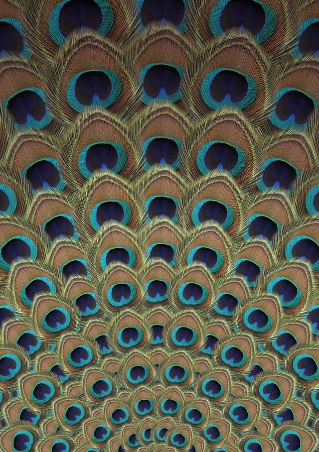 Piórkowy Pawi tło zdjęcia stock