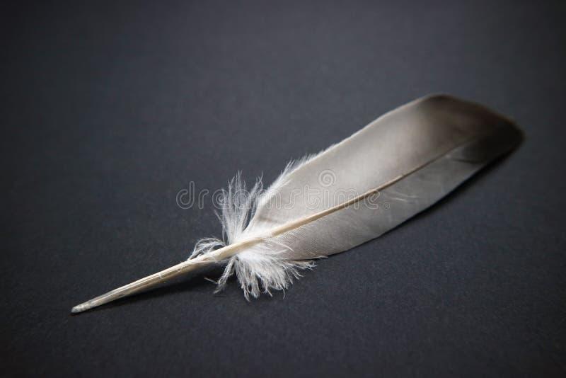 Piórkowy ptaka temat na szarym tle jako symbol mądrość i nauczanie fotografia royalty free