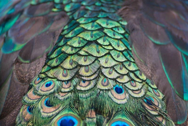 Pióro Peacock obraz royalty free