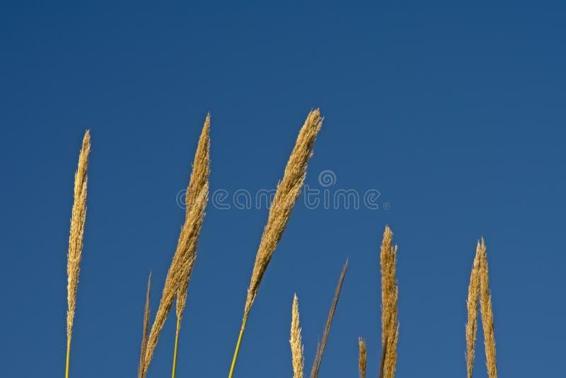 Pióropusze gigantycznej płochy trzciny na niebieskim niebie - Arundo donax zdjęcie stock