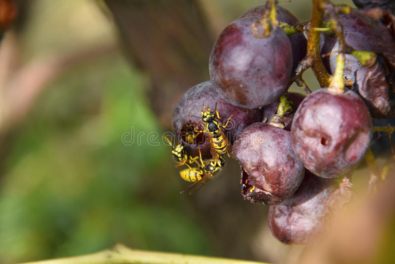 Più api fotografia stock