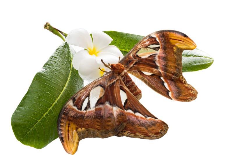 Più grande lepidottero immagine stock libera da diritti