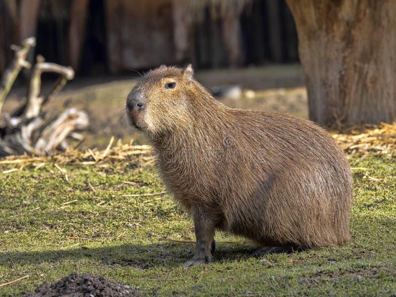 più grande roditore, capybara, hydrochaeris del Hydrochoerus fotografia stock libera da diritti